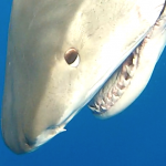 tiger shark head